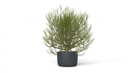 Little bonsai-sized conifer in the pot