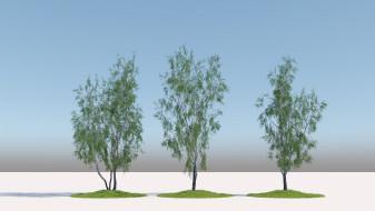 Wild Birch trees