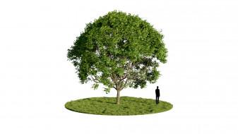 Maple Acer Pseudoplatanus Tree