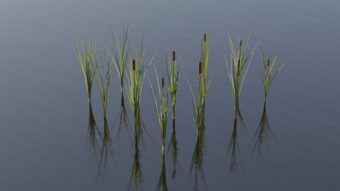 Typha water plant