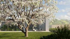 Sweet Cherry Prunus Avium