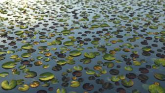 Nymphaea - aquatic plant