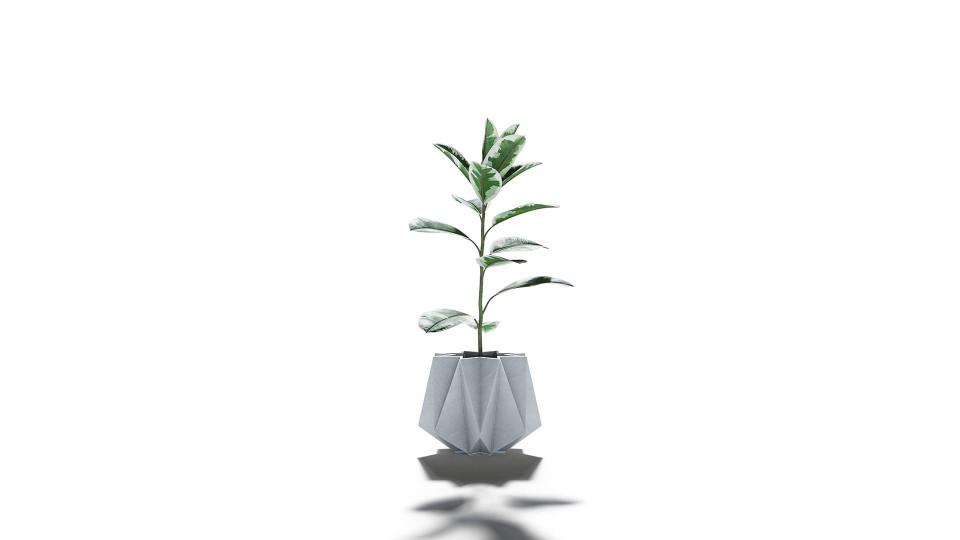 Ficus Elastica Pack