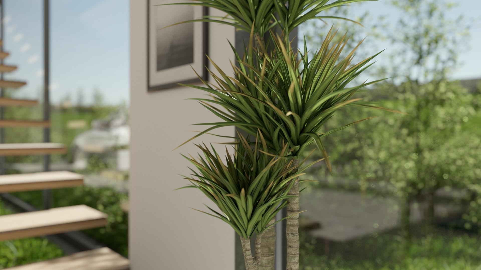 Dracaena Interior plant