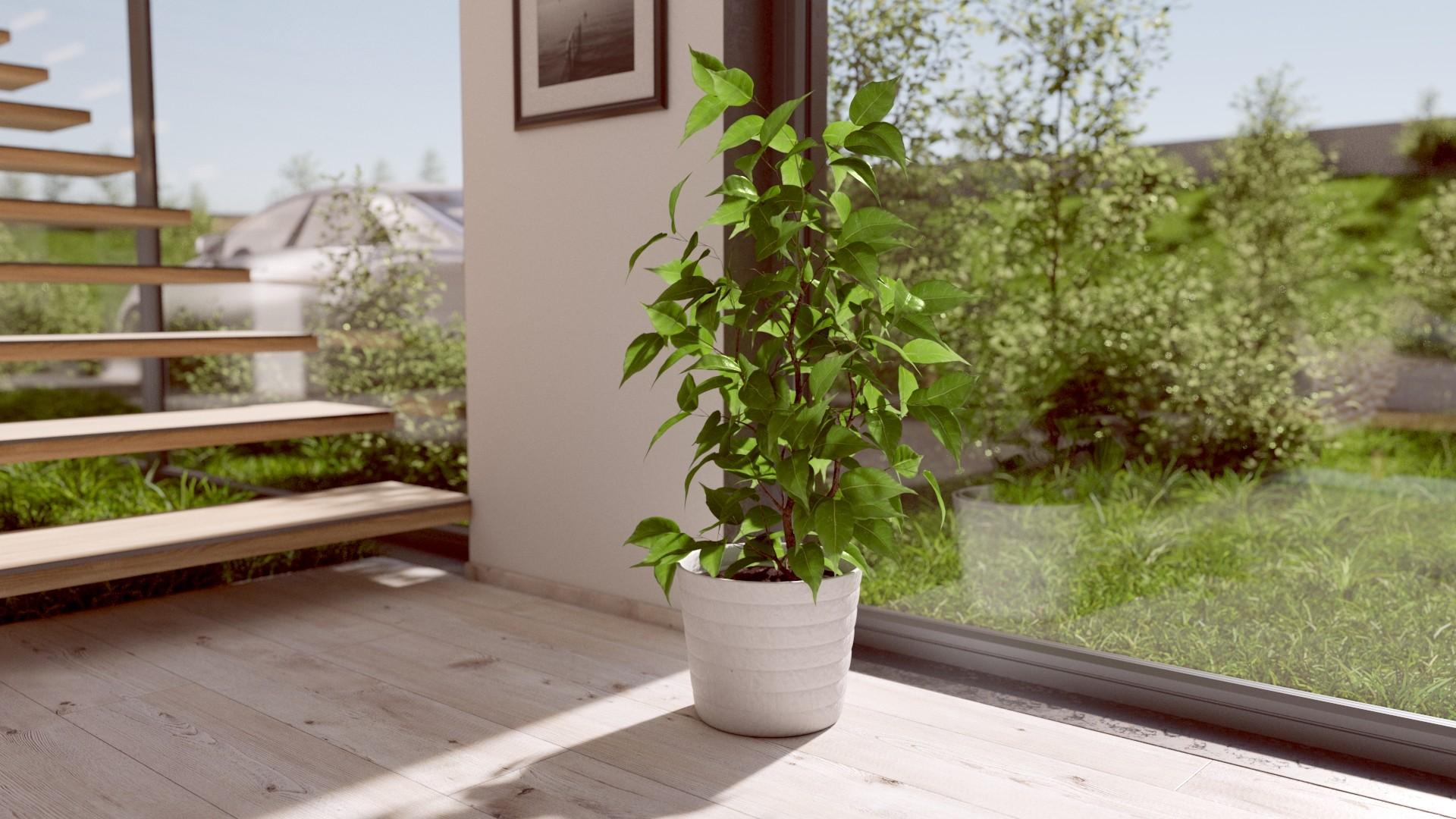 Ficus Benjamina  Interior plant