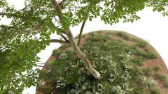 Aesculus Hippocastanum 01