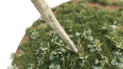 Robinia Pseudoacacia 01