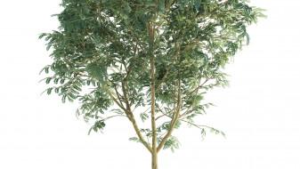 Robinia Pseudoacacia 02