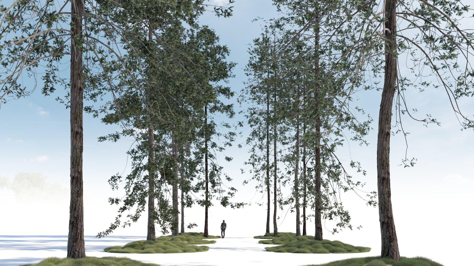Tall conifers trees